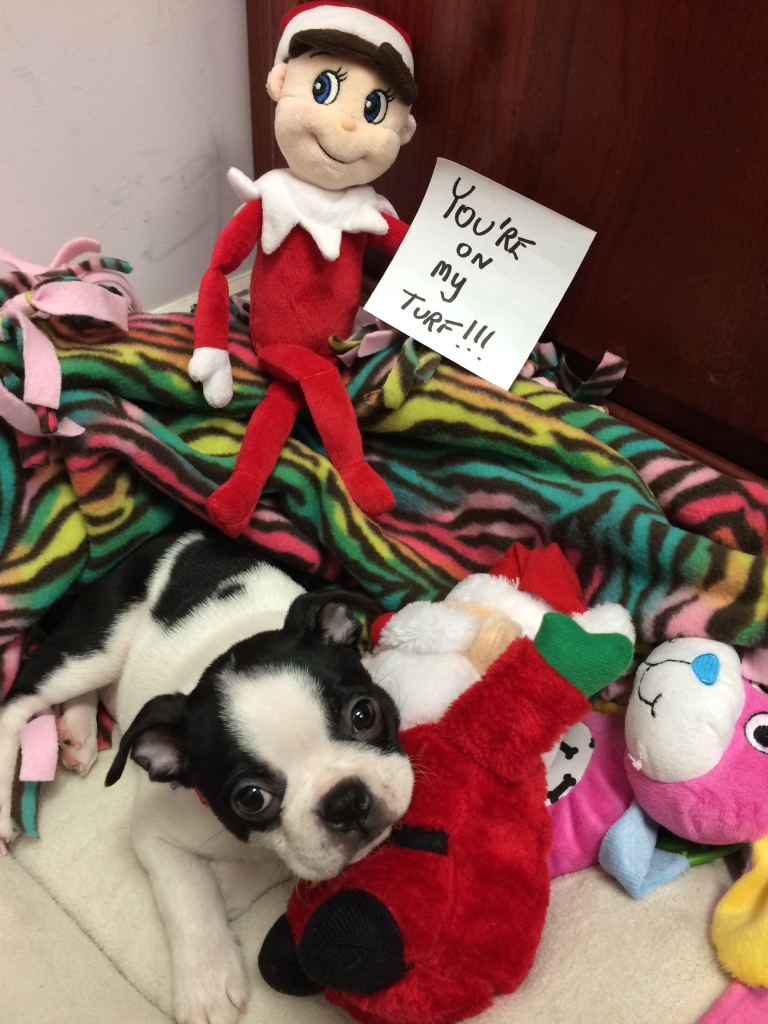 Meet Harper, the unofficial Peter Salerno Inc. mascot! (Elliot the Elf is a little jealous of our puppy...)