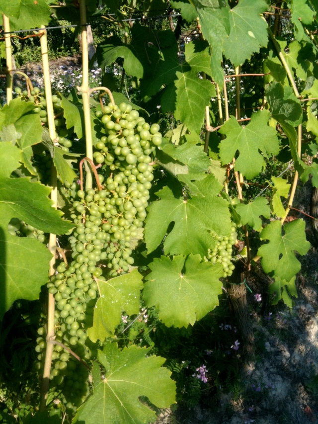 A fresh bunch of Moscato Bianco grapes, just in time for National Moscato Day! (Credit: Wiki Commons)