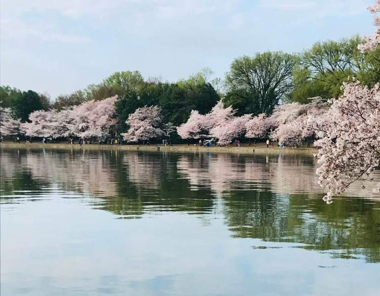 A gorgeous view of cherry blossoms along the Potomac River in spring.