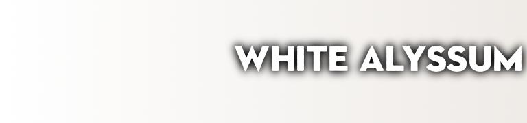 PANTONE white color White Alyssum